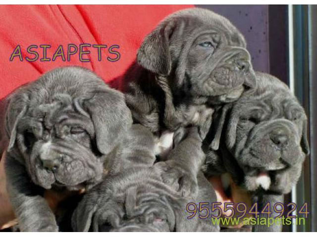 Neapolitan Mastiff Puppies For Sale Good Price In Delhi