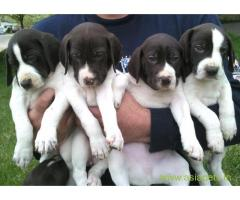 Pointer  Puppies for sale good price in delhi