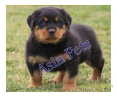 Rottweiler  Puppies for sale good price in delhi