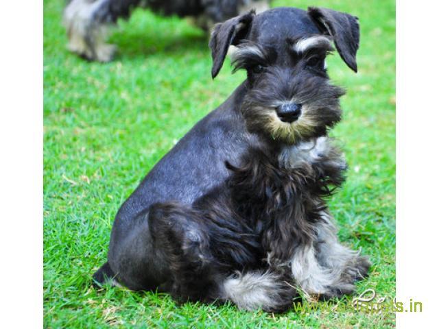 Schnauzer  Puppies for sale good price in delhi