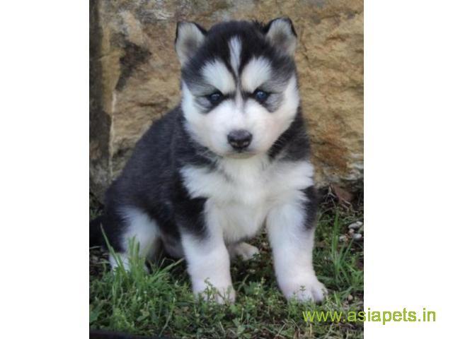 Siberian husky  Puppies for sale good price in delhi