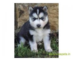 Siberian husky  Puppies for sale good price in delhi