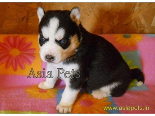 Silky Terrier Australian  Puppies for sale good price in delhi