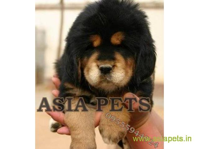 Tibetan mastiff  Puppies for sale good price in delhi