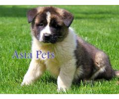 Akita Puppy for sale good price in delhi