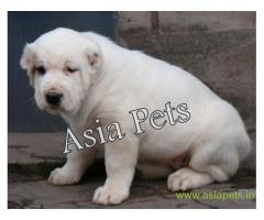 Alabai  Puppy for sale good price in delhi