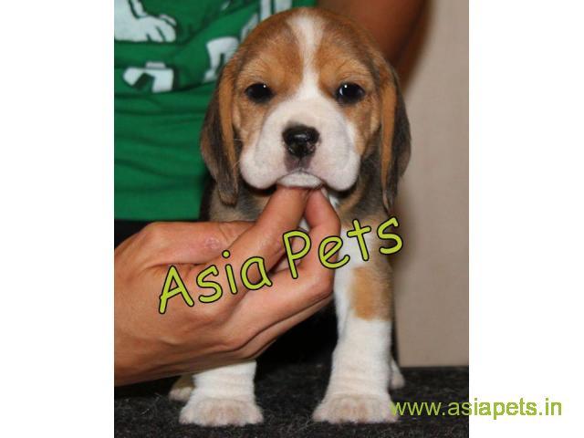 Beagle  Puppy for sale good price in delhi