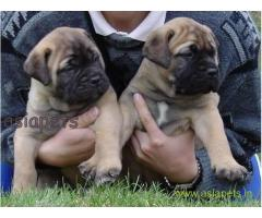 Bullmastiff  Puppy for sale good price in delhi