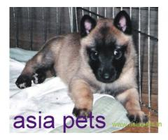 Belgian shepherd dog  Puppy for sale good price in delhi
