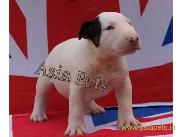Bullterrier  Puppy for sale good price in delhi