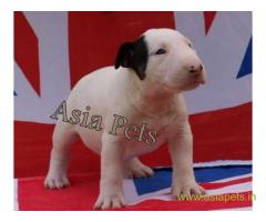Bullterrier  Puppy for sale good price in delhi