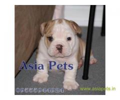 Bulldog  Puppy for sale good price in delhi
