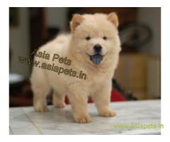 Chow chow  Puppy for sale good price in delhi