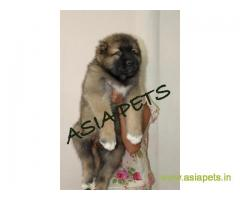 Cane corso  Puppy for sale good price in delhi