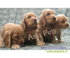Cocker spaniel  Puppy for sale good price in delhi