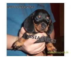 Dachshund  Puppy for sale good price in delhi
