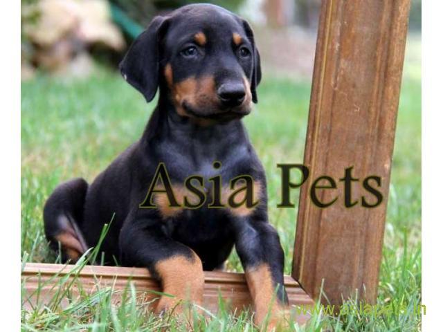 Doberman  Puppy for sale good price in delhi