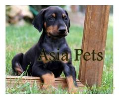 Doberman  Puppy for sale good price in delhi