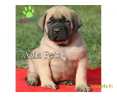 English Mastiff  Puppy for sale good price in delhi