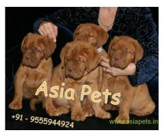 French Mastiff  Puppy for sale good price in delhi