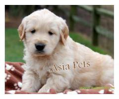 Golden retriever  Puppy for sale good price in delhi