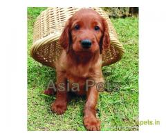 Irish setter  Puppy for sale good price in delhi