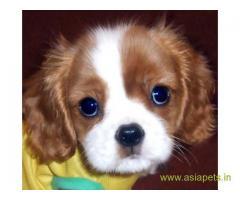 King charles spaniel  Puppy for sale good price in delhi