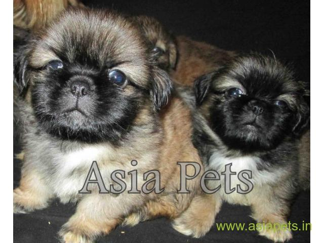 Lhasa apso  Puppy for sale good price in delhi
