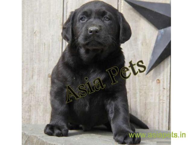 Labrador  Puppy for sale good price in delhi