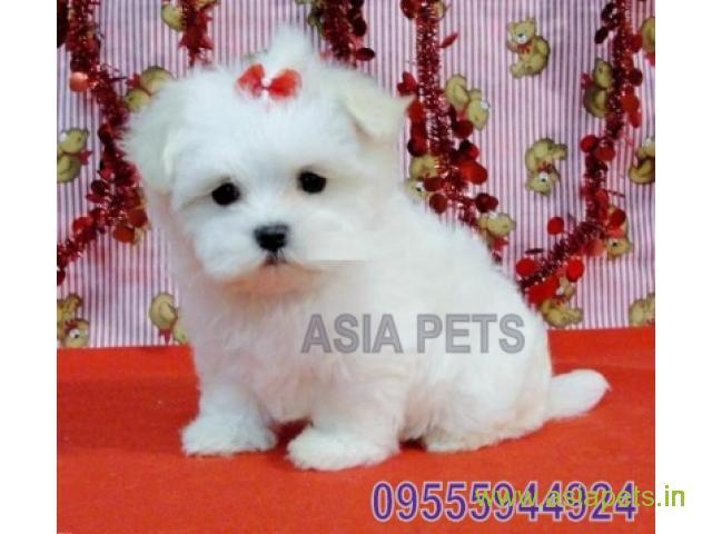 Maltese  Puppy for sale good price in delhi