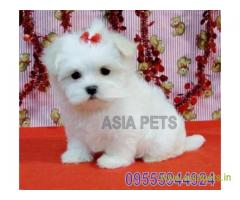 Maltese  Puppy for sale good price in delhi