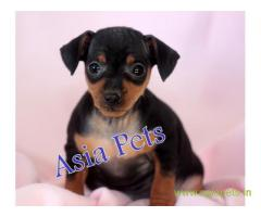 Miniature pinscher  Puppy for sale good price in delhi