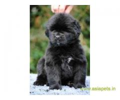Newfoundland  Puppy for sale good price in delhi