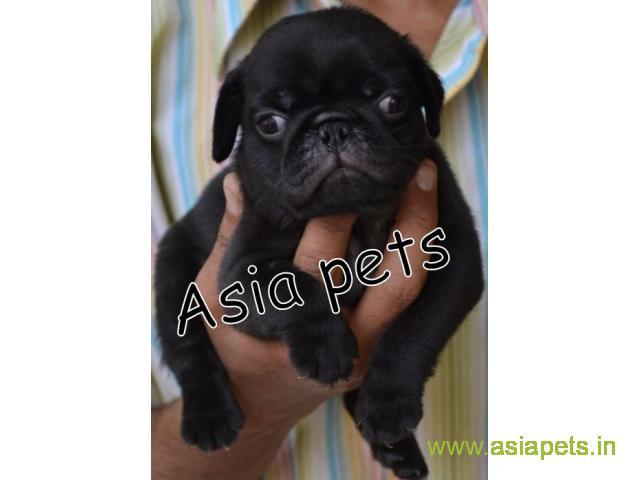 Pug  Puppy for sale good price in delhi