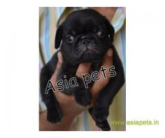 Pug  Puppy for sale good price in delhi