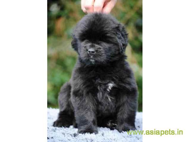 Newfoundland  Puppy for sale good price in delhi