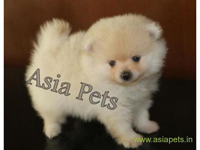 Pomeranian Puppy For Sale Good Price In Delhi