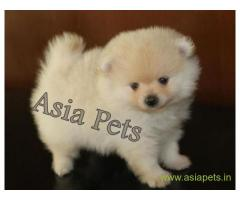Pomeranian  Puppy for sale good price in delhi