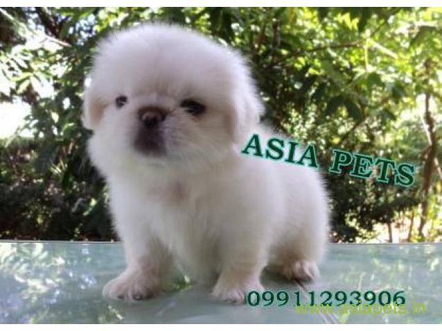 Pekingese  Puppy for sale good price in delhi
