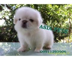 Pekingese  Puppy for sale good price in delhi