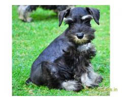Schnauzer  Puppy for sale good price in delhi