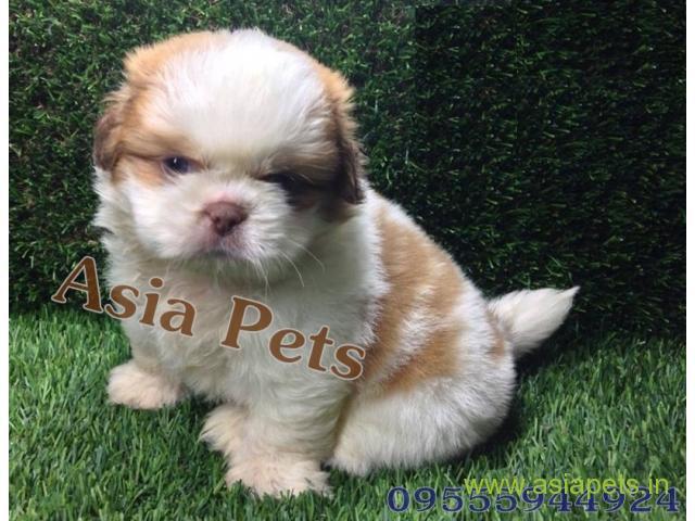 Shih tzu  Puppy for sale good price in delhi