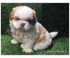 Shih tzu  Puppy for sale good price in delhi