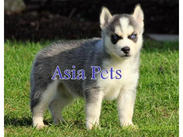 Siberian husky  Puppy for sale good price in delhi