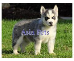 Siberian husky  Puppy for sale good price in delhi