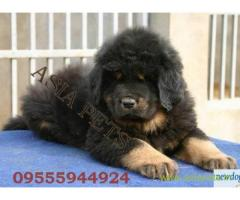 Tibetan mastiff  Puppy for sale good price in delhi