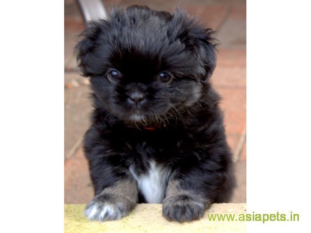 Tibetan spaniel  Puppy for sale good price in delhi