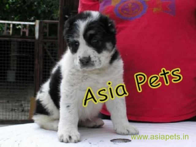 Alabai  Puppy for sale best price in delhi