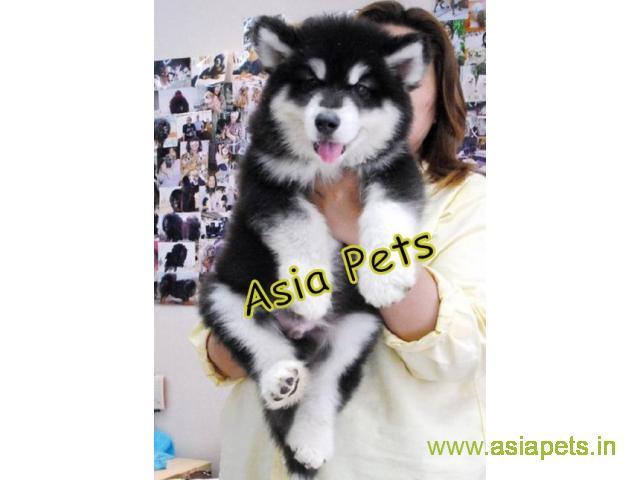 Alaskan malamute  Puppy for sale best price in delhi