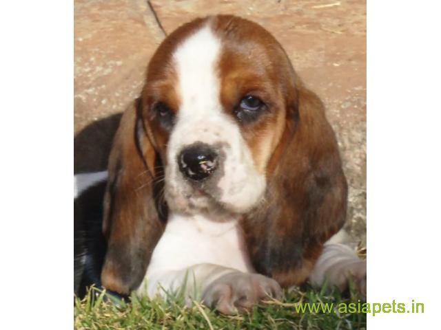 Basset hound  Puppy for sale best price in delhi